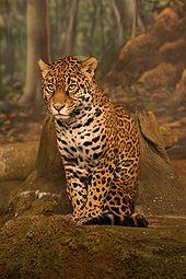 170px-Jaguar sitting-1-