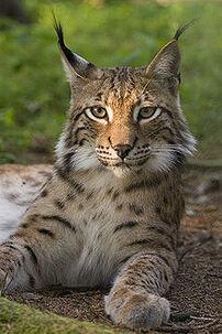 220px-Lynx lynx poing-1-