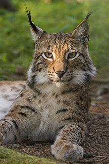 File:220px-Lynx lynx poing-1-.jpg