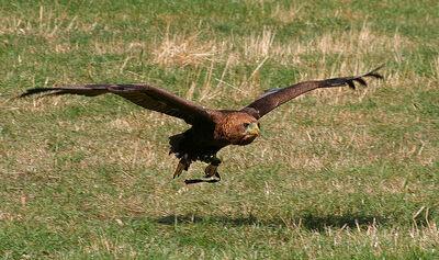 800px-Terathopius ecaudatus Flickr1-1-