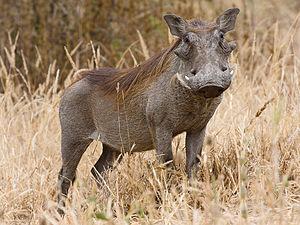 300px-Tarangire Warzenschwein1-1-