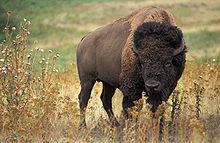 File:220px-American bison k5680-1-1-.jpg
