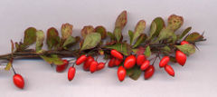 240px-Berberis thunb frt-1-