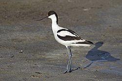 File:250px-Pied Avocet Recurvirostra avosetta-1-.jpg