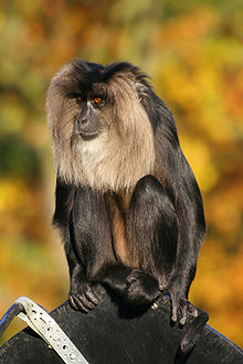 220px-Lion-tailed Macaque-1-