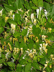 File:220px-Honeysuckle-1-.jpg