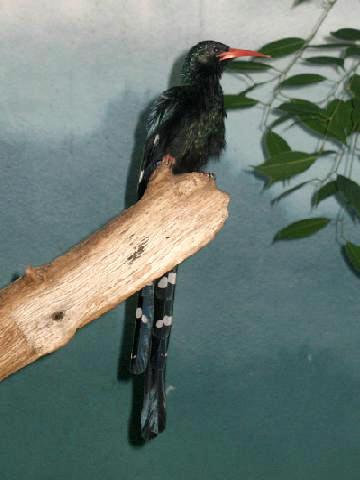 Stavenn Phoeniculus purpureus 00-1-