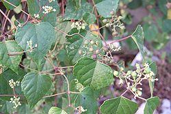 250px-Ampelopsis brevipedunculata var. hancei soann-pho-to 001-1-