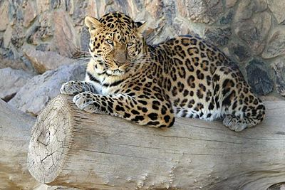 File:400px-North Chinese Leopard-1-.jpg