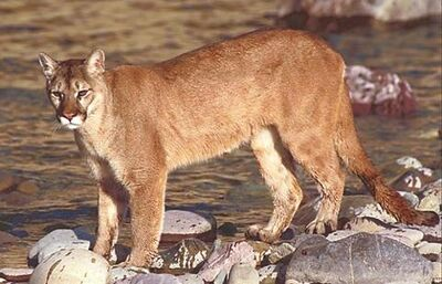 Mountain lion-1-