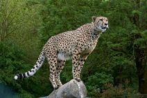 Cheetah-3475778 1920