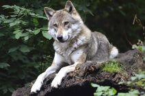 Wolf-1336229 1920