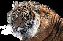Tiger-1526704 1920