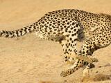 East African Cheetah