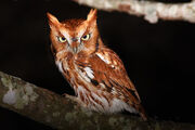 Orange eastern screech owl in mayesville, alabama-S