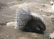 African-Crested-Porcupine