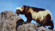 Az wolverine-wpcf 520x292