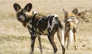 African-wild-dog-1