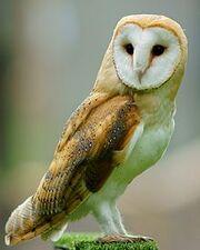 Tyto alba -British Wildlife Centre, Surrey, England-8a