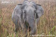 Indian-elephant-grazing-in-long-grass