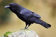 Common-raven-san-juan-islands-washington