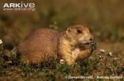 Black-tailed-prairie-dog-feeding
