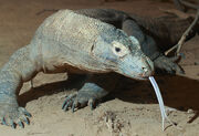 1200px-Komodo dragon with tongue