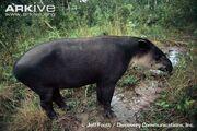 Bairds-tapir-feeding