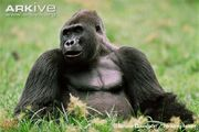 Western-lowland-gorilla-sitting-in-clearing