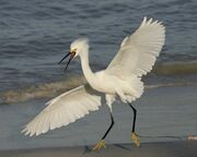 Snowy Egret m17-70-632 l 1
