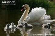 Mute-swan-cygnets-with-adult