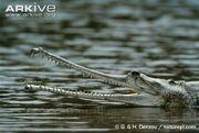 Female-gharial-in-water