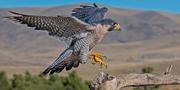 Peregrine-falcon dawnkey-istock