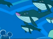 Stanley Humpback Whales