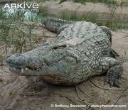 Nile-crocodile-