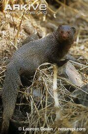 Indian-grey-mongoose-portrait