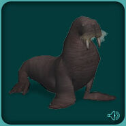 Pacific Walrus (Blue Fang)