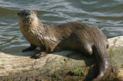 North-american-river-otter-02