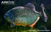 Red-bellied-piranha