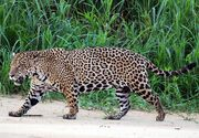 1200px-Jaguar (Panthera onca palustris) male Three Brothers River (cropped)