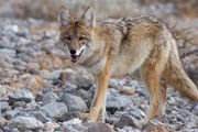 Coyote-Spirit-Animal-5