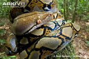 Reticulated-python-juvenile-coiled-around-sapling