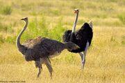 Ostrich-couple