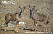 Male-and-female-greater-kudu-