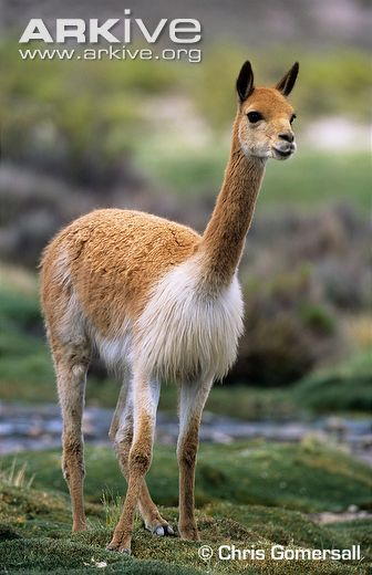 Image result for vicuna animal