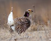 Sharp-Tailed Grouse (26089894256) (cropped)
