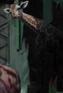 NatM Giraffe