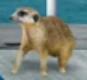 MAD Meerkat