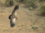 Ruppells-vulture-soaring-photo-by-M.-Virani