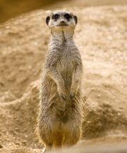 Meerkat-standing